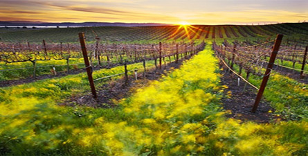 Love Wine? Taste some of the best wine in the world while meandering through Napa Valley, California!